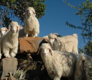 goats-1360857